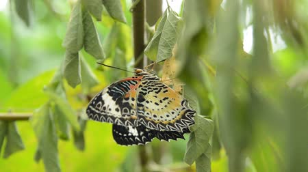 cocoon : butterfly metamorphosis from cocoon and flap wing prepare to flying on branch in garden