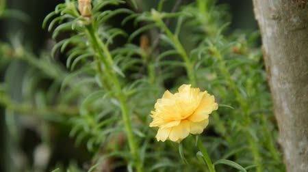 hera : yellow rose moss blooming in garden