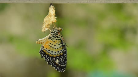 worms : butterfly metamorphosis from cocoon and prepare to flying on aluminum clothes line in garden