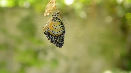 chrysalis : butterfly metamorphosis from cocoon and prepare to flying on aluminum clothes line in garden