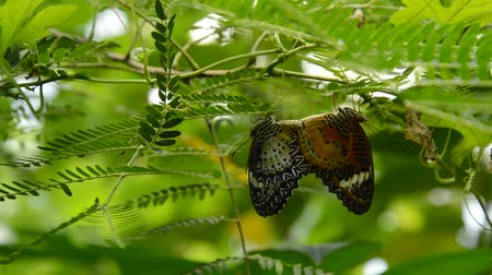 klopa : butterfly breeding under branch in garden
