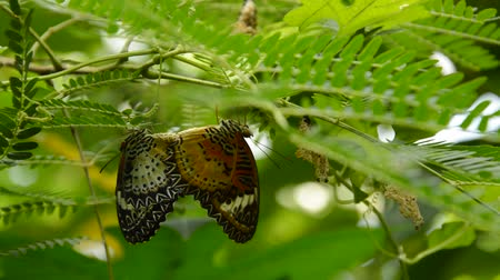 metamorfoza : butterfly breeding under branch in garden