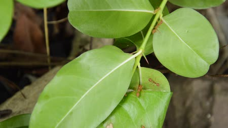 клык : red ant protect and climbing on nest leaf in garden Стоковые видеозаписи