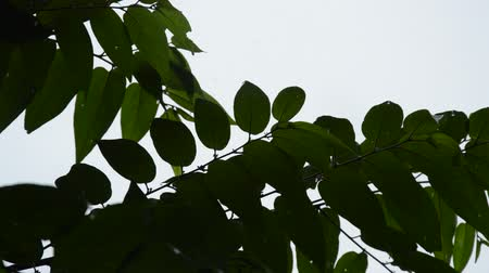 stalk : silhouette leaf blowing from wind in garden while hard rain falling Stock Footage