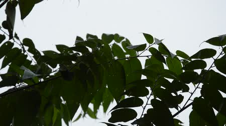 pingente : silhouette leaf blowing from wind in garden while hard rain falling Vídeos