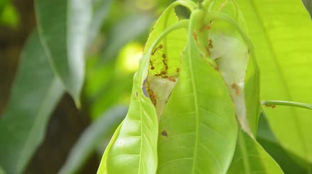 клык : red ant climbing on nest mango leaf in garden Стоковые видеозаписи