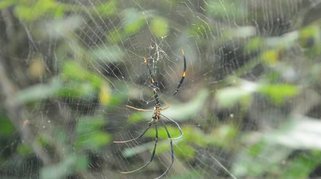 клык : batik golden spider climbing on net and droping down to victims in forest Стоковые видеозаписи