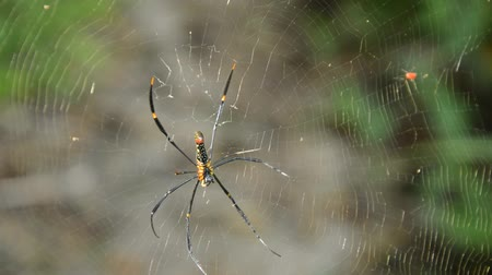 клык : batik golden spider crawling on net waiting for victims in forest Стоковые видеозаписи