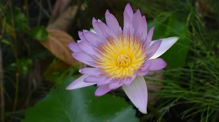 lotus water lily blooming in pool Stok Video