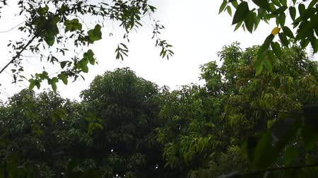 кулон : hard rain falling on tree and leaf flowing from wind blown in garden