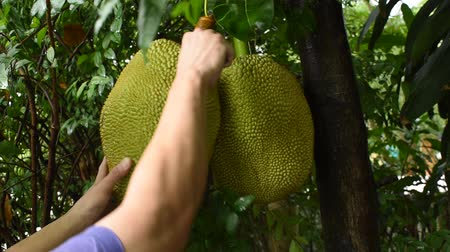 hand cutting jack fruit from branch on tree in farm