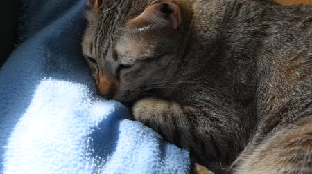sleepy gray cat going to sleep on blue pillow in home with afternoon sunlight through window