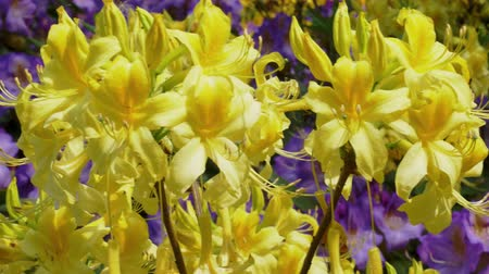 rhododendron : Yellow blooming Rhododendrons in the garden Stock Footage