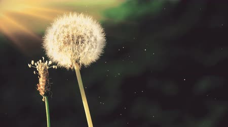 fragilidade : Dandelions video background in modern retro style with rays of sunset