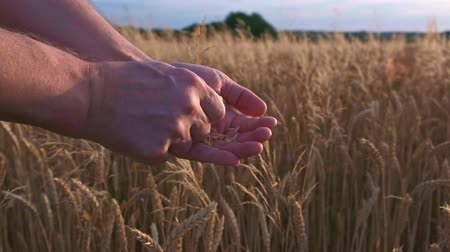 Wheat field and farmer examines quality of wheat seeds Стоковые видеозаписи