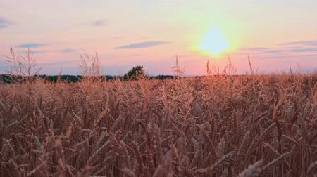 Golden wheat field at sunset video background Стоковые видеозаписи