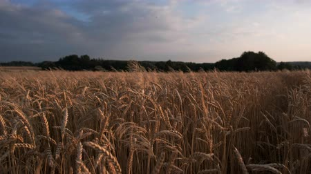 agricultural lands : Golden wheat field at sunset video background Stock Footage