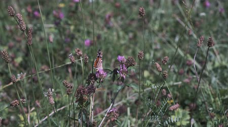 Painted Lady butterfly (Vanessa Cardui) on summer meadow