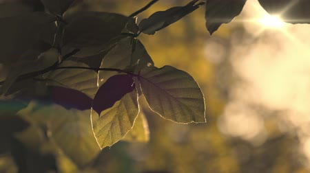 Beech leaves with sunbeams in early evening summer calm atmosphere