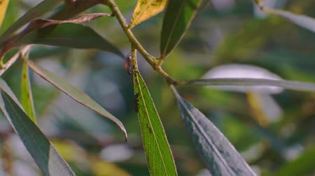 Ants on the leaves graze and extract the milk from the aphids from the colonies close up shot video. Stok Video