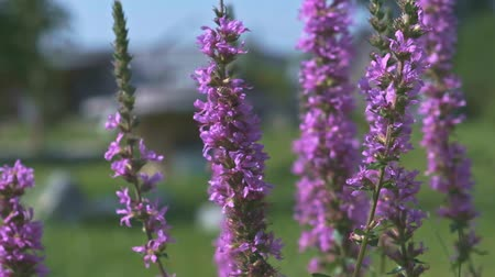 Purple Colored Flowers Spiked Loosestrife with Bee Close Up Stok Video