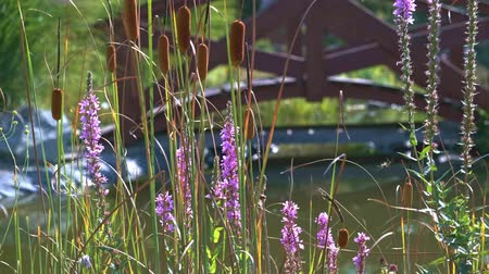 homeopathic : Purple colored flowers of Spiked Loosestrife at pond video background