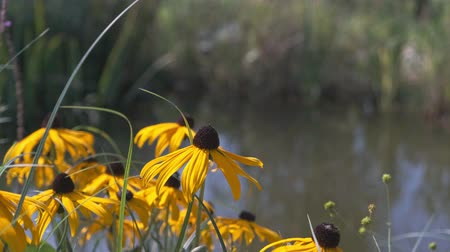 Rudbeckia hirta flowers blossom in garden still life video background