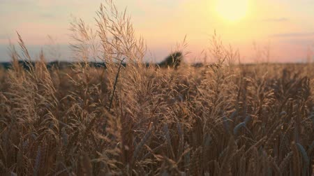 Golden wheat field in wind at sunset video background Stok Video