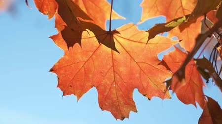 Autumn maple leaves in wind video background