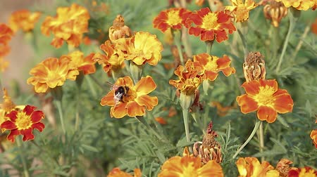 шмель : Bee & Butterfly sitting on orange marigold flowers on a flower-bed