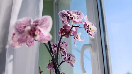 phalaenopsis : Morning beautiful orchid on the window in the house. Flowers and plants for home. Stock Footage