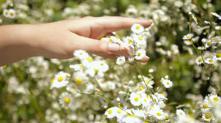 Female hand holds the daisies in the meadow. Field. Chamomile flowers sway in the wind. White flowers on a green meadow. The video is well suited for the background. Summer and nature. Wideo