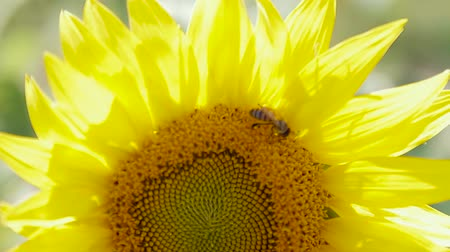 Macro of bee gathering pollen from sunflower Wideo