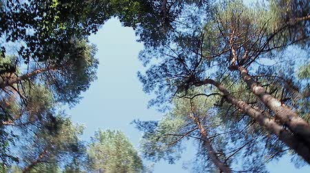 opadavý : Forest trees and sunlight dolly moving low angle shot