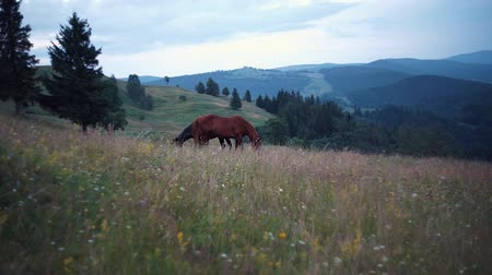 hejno : Herd of horses are grazing on mountain pasture. Very long shot. Carpathians mountains at summer. Horses on grassland. White cumulus on horizon. Ukrainian nature landscape. Blurred background Dostupné videozáznamy