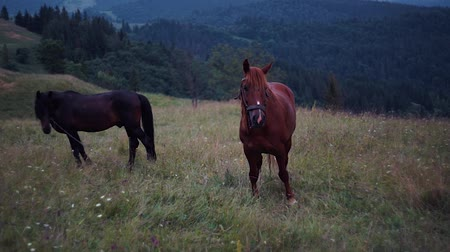 kobyla : Herd of horses are grazing on mountain pasture. Very long shot. Carpathians mountains at summer. Horses on grassland. White cumulus on horizon. Ukrainian nature landscape. Blurred background Dostupné videozáznamy