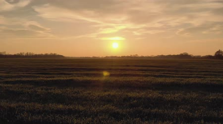 новобрачный : the bride and groom beautiful young couple. run on the field with wheat at sunset silhouette of sunlight. 4k