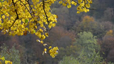 tree branch with yellow and orange foliage in autumn forest on sunny day 影像素材