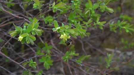polinização : Branches of honeysuckle in a spring in the garden, a flower pollinated by a bumblebee Stock Footage