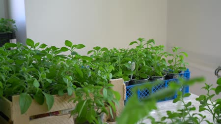 Green seedlings in boxes, handheld camera moves Stock Footage