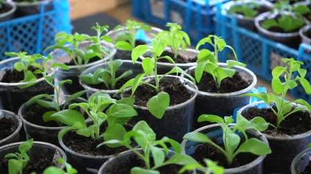 Young seedlings in plastic cups in boxes, closeup