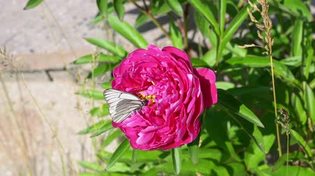 White butterfly sits on a pink flower close-up.