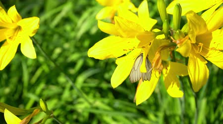 White butterfly sits on a yellow flower close-up. Stock Footage