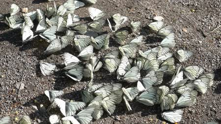 A large group of white Pieris brassicae butterflies on the ground in close-up .. Stock Footage