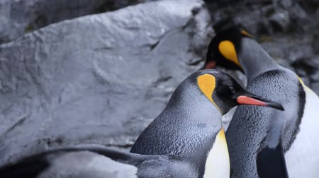 pinguim : Penguin spreads its wing with funny expression