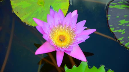 pétalas : Pink lotus with dragonfly in the pond