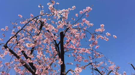 fuji : Sakura (Cherry Blossom)  blooming with blue sky   in spring around Ueno Park in Tokyo , Japan