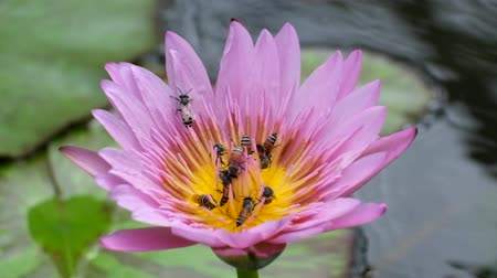 lotusbloem : Bee swarming on the lotus flower, lotus and bee in yellow pollen, lotus flower or water lily with bees collecting pollen, Bees fly to lotus