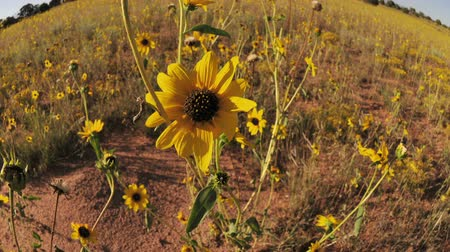 dik : sunflower wide angle field Stok Video