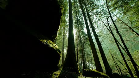 european beech : trees in forest woods mystical forest green nature background Stock Footage